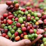 Aussie Helps Laos Hill Tribes Grow Coffee