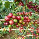 Xekong Coffee Growers Exasperated By Price Drop