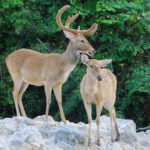 Three-fold Increase in Eld's Deer Population in Savannakhet Province