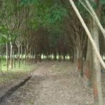 Smaller Plantation Trees Get Export Go-ahead