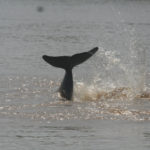 Irrawaddy Dolphins Functionally Extinct in Laos