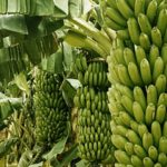 Oversight of Banana Farms Weak: National Assembly