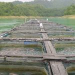 Breeders Abandon Tilapia Farms