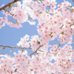 Prime Minister Visits Sakura Park in Viengxay