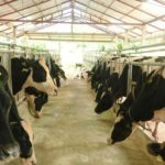 Lao Dairy Farm Milking the Market in Vientiane Capital