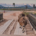 Laos Aims to Meet Market Demand on Cattle