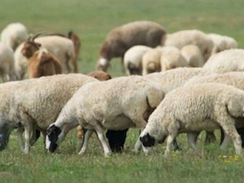 Mongolian Sheep in Laos