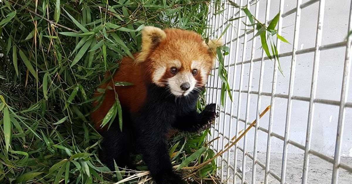 Red Pandas Rescued in Laos