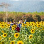 Sunny Side Up: Getting Your Hands Dirty at Phutawen Sunflower Farm