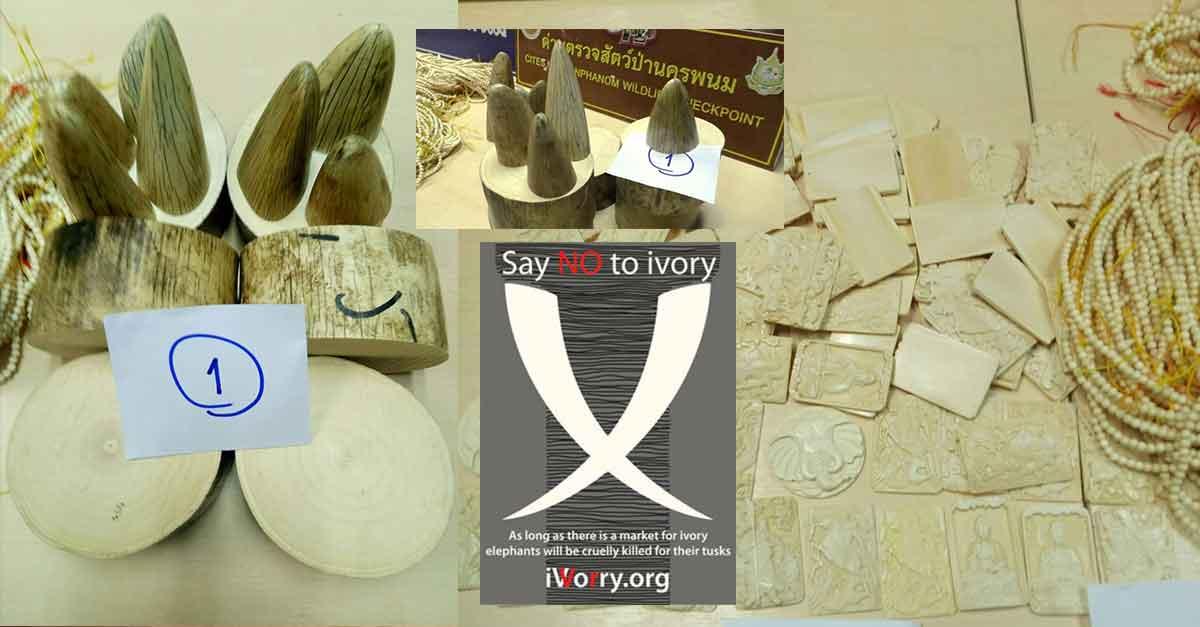 Ivory seized in Nakhon Phanom smuggled from Laos' Khammuan province.