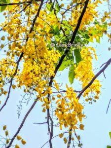 Lao New Year Perennially Associated With Dok Khoun (Cassia Fistula)