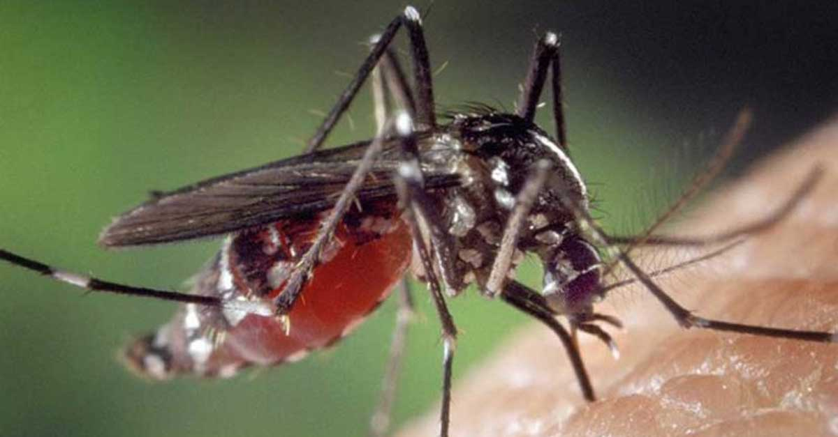 mosquito transmitting dengue fever