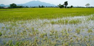 Laos Rice Export Affected by Floods