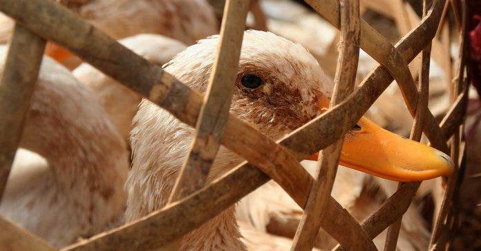 H5N6 Avian Flu Detected in Laos