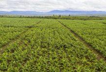Laos Banana Plantation