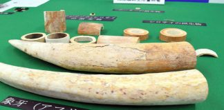 Japan Arrests Lao Citizen for Smuggling Out Ivory